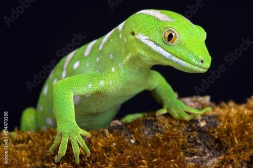 Northland green gecko (Naultinus grayii )