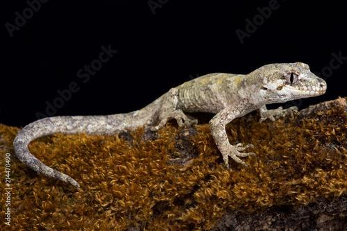 Forest gecko (Mokopirirakau granulatus).