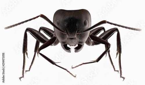 Big black ants
