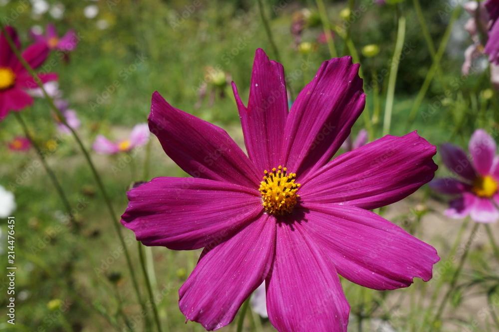 Fototapeta Fioletowy kwiat ogrodowy ,fioletowy kwiat w ogrodzie ,kwiaty - obraz na płótnie