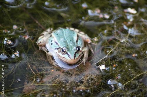 Tuinposter Kikker Frosch im Tümpel