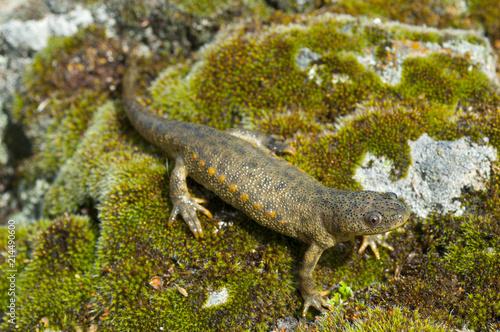 Fotografie, Obraz Spanish ribbed newt (Pleurodeles waltl)