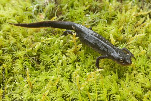 Fototapeta Triturus boscai, Lissotriton boscai, Triton, Anfibio, protected species