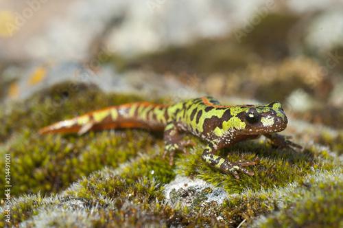 Fototapeta Pygmy marbled newt (Triturus pygmaeus), amphibian