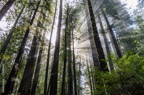 Fotografija  Sonnenstrahlen im Redwood Nationalpark