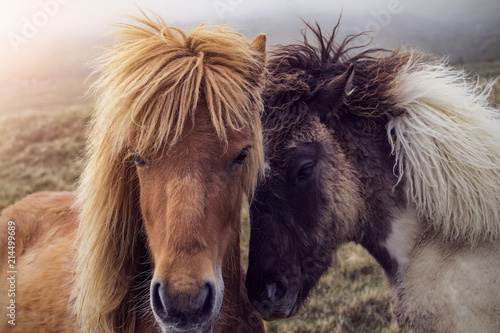 Wall Murals Northern Europe Two Faroese Horses