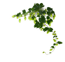 Twig Of Hop ( Humulus ) With Hop Cones On A White Background With Space For Text. Top View, Flat Lay.