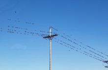 Hundreds Of Birds Perched On A Telephone Wire Against Very Blue Sky
