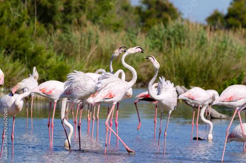 Keuken foto achterwand Flamingo Fenicotteri rosa, Camargue, Francia