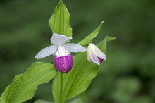 Cypripedium Reginae Wonderful ...