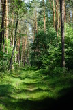 Zielona droga na szlaku w Puszczy Kozienickiej w Polsce