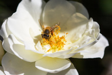 Bee Sitting In The Center Of A White Rose Seaching For Nectar