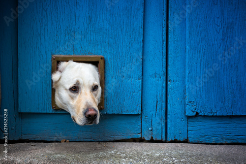 Foto Head of Labrador dog sticking through cat flap