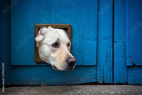 Head of Labrador dog sticking through cat flap Fototapete