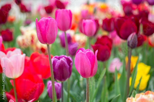 Colorful tulip flowers bloom in the garden Wallpaper Mural