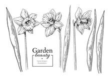 Daffodil Flower And Leaves Dra...