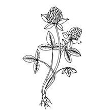 Doodle Clover Medicinal Plant ...