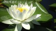 Beautiful white water lily (Nymphaea alba) flowers on the water surface in the lake, Kugurluy, Ukraine