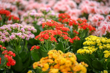 Beautiful Blooming Kalanchoe Flowers, Closeup. Tropical Plant