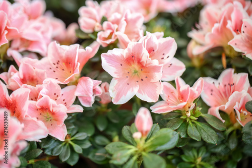 Montage in der Fensternische Azalee Beautiful blooming azalea flowers, closeup. Tropical plant