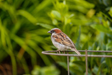 Male Sparrow Resting On The Me...
