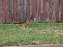 A Rabbit Or Cottontail Hare Nibbles On Long Blade Grass Near A Roadway.