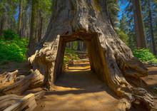 Drive Through Tunnel Tree, A G...
