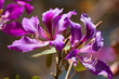 Blooming Hong Kong Orchid Tree Monrovia purple flowers with a faded background