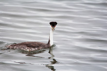 Adult Western Grebe In August....