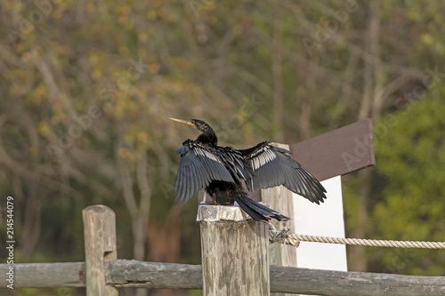 Anhinga Drying its Wings on a dock post Canvas-taulu
