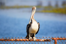 Close Up Of Brown Pelican Resting On A Rusted Metal Fence At Wildlife Habitat. Huge, Stocky Seabirds. Thin Necks, Long Bills, Stretchy Pouch Used For Capturing Fish. Long And Broad Wing