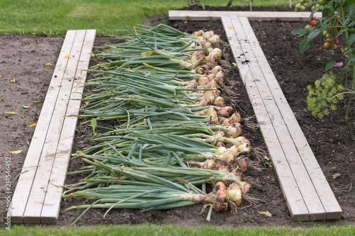 Fototapeta Harvest of onion obraz