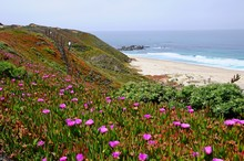 Beautiful Beach With Colorful Plants In Spring Near Big Sur On 17 Mile Drive In California, United States