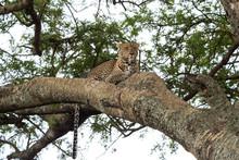 タンザニアの木登りヒ...