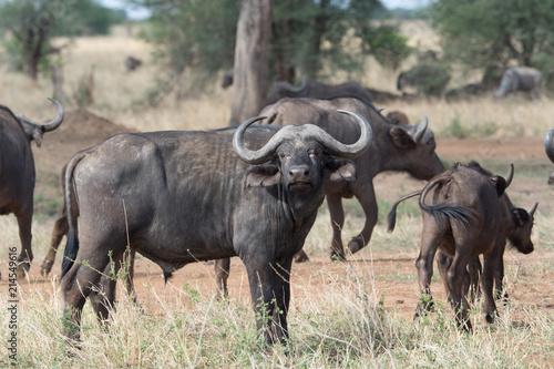 Staande foto Buffel タンザニアのバッファローの横顔
