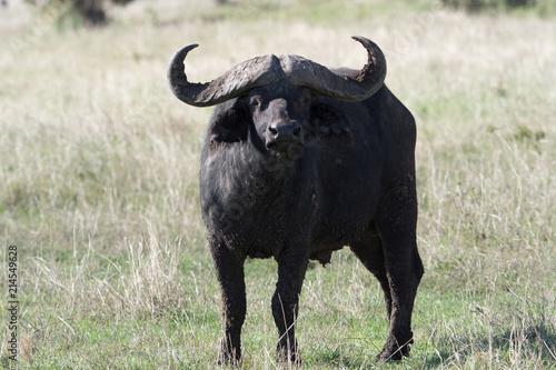 Keuken foto achterwand Buffel タンザニアのバッファロー正面