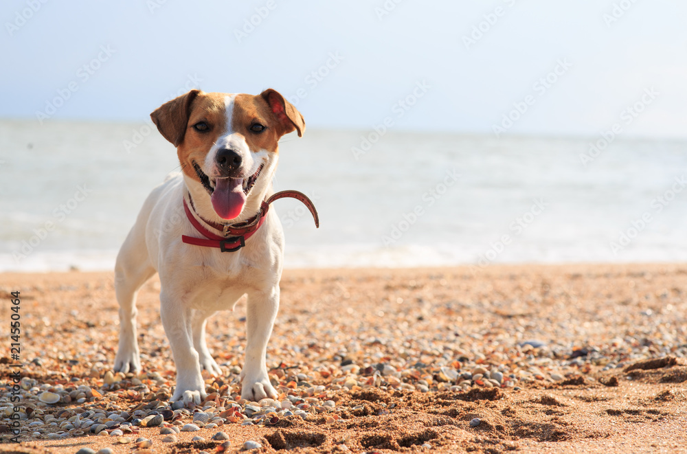 Fototapety, obrazy: Dog Jack Russell on the beach