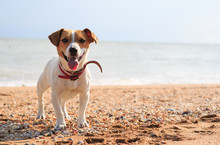 Dog Jack Russell On The Beach