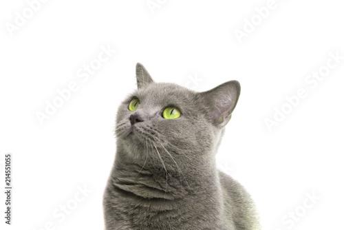Obraz blue gray british cat isolated on the white - fototapety do salonu