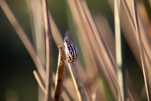 Frogs Clinging To Reeds On The...