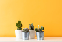 Collection Of Various Cactus Plants In Different Pots. Potted Cactus House Plants On White Shelf Against Pastel Mustard Colored Wall.