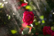 Red Rose In The Garden Under T...