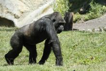 Gorilla Primat, Seitenansicht