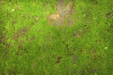 Texture Of Green Moss On Stone...