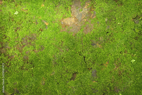 texture of green moss on stone wall background Slika na platnu
