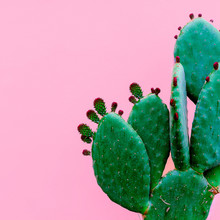 Cactus Minimal. Plants On Pink Concept
