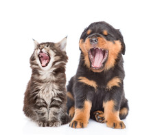 Yawning Kitten And Puppy. Isol...