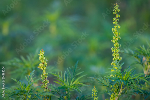 American common ragweed or Ambrosia artemisiifolia causing allergy Canvas Print