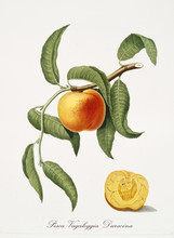 Isolated Peach, Its Leaves And A Fruit Section On White Background. Old Botanical Watercolor Detailed Illustration By Giorgio Gallesio And Collaborators Publ. 1817, 1839 Pisa Italy.