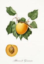 Apricot, Also Known As German Apricot, Apricot Tree Leaves, And Apricot Section With Kernel Isolated On White Background. Old Botanical Illustration By Giorgio Gallesio Publ. 1817, 1839 Pisa Italy.